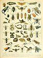 Adolphe Millot insectes B.jpg