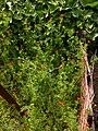 Adonis aestivalis plant (10).jpg