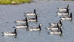 Adult Barnacle geese (Branta leucopsis) at Adventfjord, Svalbard.jpg