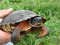 Adult Wood turtle in hand at Great Swamp National Wildlife Refuge (6762041173).jpg