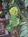Aeonium arboreum3.jpg