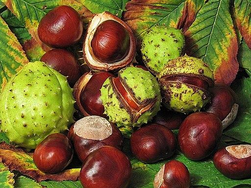 Aesculus hippocastanum fruit (jha)