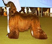 This Afghan is black and brindle; however, the photo shows it with a reddish tinge to the coat, which can occur in a black-coated dog.
