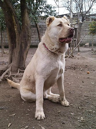 Molossus (dog) - Kuchi dog, an ancient livestock guardian dog breed from Afghanistan.