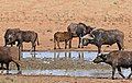 African Buffaloes (Syncerus caffer) at waterhole ... (32279658494).jpg