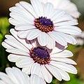 African Daisy (Osteospermum)-5204.jpg