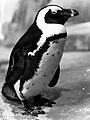 African Penguin 2.jpg