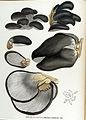 Agaricus ambiguus — Flora Batava — Volume v17.jpg