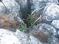 Agave species (5757399513).jpg