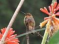 Aglaeactis cupripennis (Colibrí paramuno) (14144887827).jpg