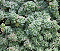 Aichryson tortuosum01