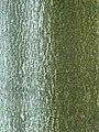 Ailanthus altissima Bożodrzew gruczołkowaty 2011-09-11 02.jpg