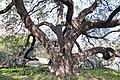 Alamo-Tree-2075.jpg