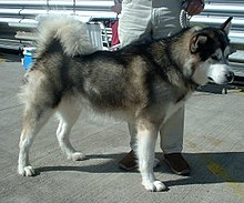 Image result for malamute sled dogs
