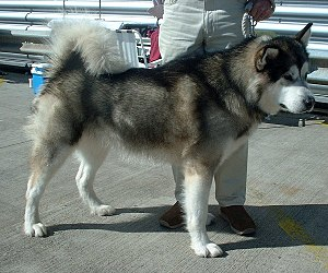 An Alaskan malamute, derived from the original...