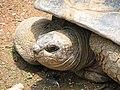 Aldabra Tortoise Image 001.jpg