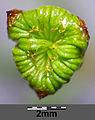 Alisma plantago-aquatica sl11.jpg