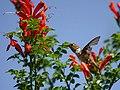 Allen's hummingbird at cape honeysuckle (37413631885).jpg