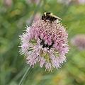 Allium hymenorhizum-IMG 4328.jpg