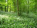 Allium ursinum Linnerberg 1.JPG