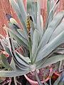 Aloe plicatilis (4509152890).jpg