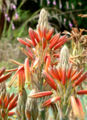 Aloe polyphylla 4.jpg