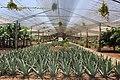 Aloe vera farm Tenerife 3.jpg