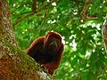 Alouatta arctoidea Mono araguato Ursine howler,jpg.jpg