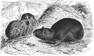 Alpine pika - Illustration by Gustav Mützel