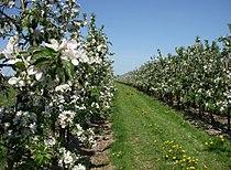 Altes Land Apfelblüte 2011.jpg
