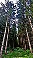 Am Bilstein bei Breungeshain und Busenborn - Durchgang zwischen den Bäumen.jpg