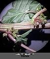 Amaranthus viridis sl28.jpg
