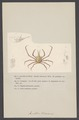 Amathia rissoana - - Print - Iconographia Zoologica - Special Collections University of Amsterdam - UBAINV0274 006 01 0066.tif