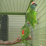 Amazona festiva bodini -two captive-8a.jpg