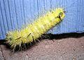 American Dagger Moth caterpillar (Acronicta americana) - Batavia, Illinois - Flickr - Jay Sturner.jpg