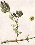 American Mistletoe (NGM XXXI p514).jpg