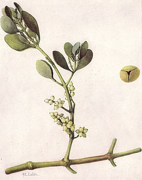 Description de l'image American Mistletoe (NGM XXXI p514).jpg.