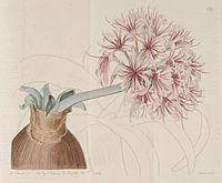 Ammocharis coranica 139