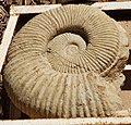 Ammonit 04 21.jpg
