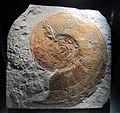 Ammonite harpoceras exaratum, 180 milioni di anni, da zona di friburgo.JPG