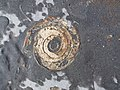 Ammonite on Kilve Beach II - geograph.org.uk - 342221.jpg
