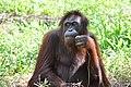 An elderly orangutan (11932611686).jpg