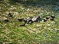 Anas platyrhynchos - Glatt - Glattbrugg IMG 6863.jpg