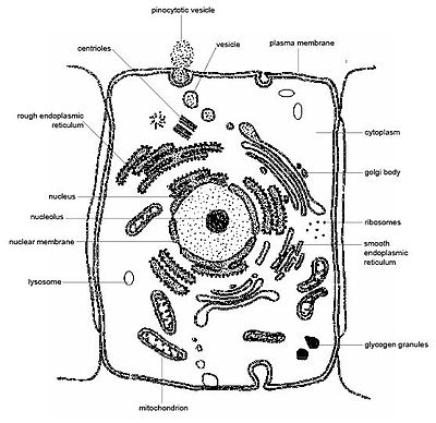 Anatomy and physiology of animalsthe cell wikibooks open books diagram 33 an animal cell as seen with an electron microscope ccuart Gallery