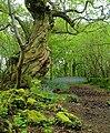 Ancient woodland, Inchmahome.jpg