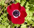 Anemone-Red.JPG