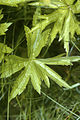 Anemone canadensis NRCS-1.jpg