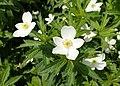 Anemone canadensis kz05.jpg