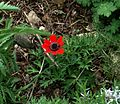 Anemone fulgens - Flickr - peganum (4).jpg