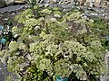 Angelica sylvestris 07 by Line1.jpg